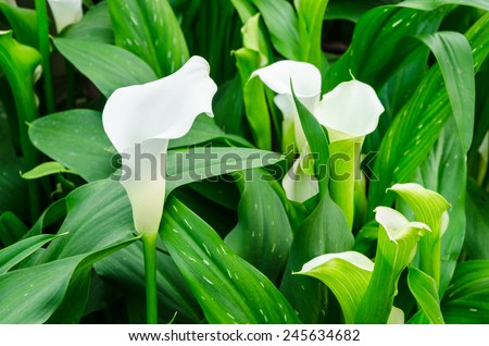 Calla lily white flower and green leaves in garden. - stock photo