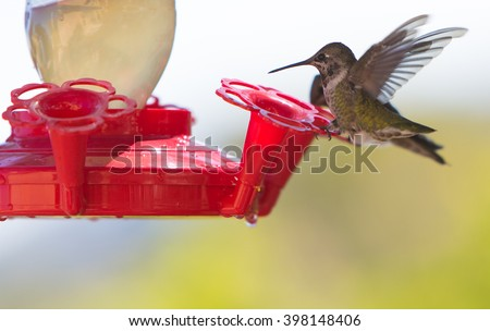 Calliope Hummingbird  juvenile male ruby throat hummingbird perched at a feede - stock photo
