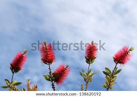 Callistemon, a ornamental shrub in the family Myrtaceae, all endemic to Australia. Commonly referred to as bottlebrushes because of their, brush like flowers resembling a traditional bottle brush.  - stock photo