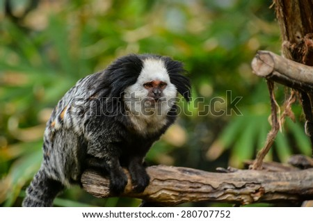 Callithrix Geoffroyi Small Black and White Monkey