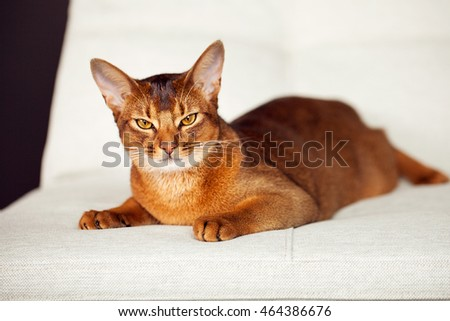 Calm abyssinian cat lying on white couch