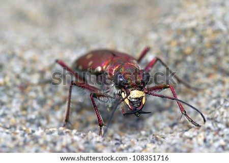 Calomera littoralis tiger beetle looking at the observer - stock photo