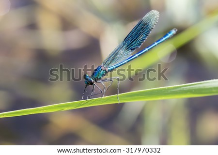 Calopteryx splendens, Banded Demoiselle, male dragonfly from Lower Saxony, Germany - stock photo