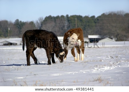Calves - stock photo