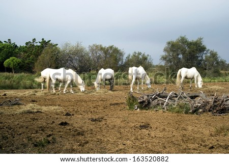 Camargue horses grazing in a nature reserve, Camargue, France - stock photo