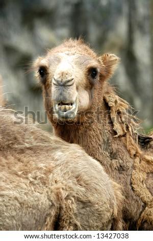 camel - stock photo