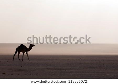 Camel at sunset in the desert - stock photo