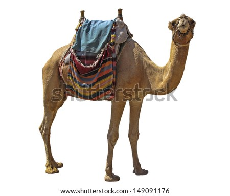 Camel attraction for tourists in Israel - stock photo