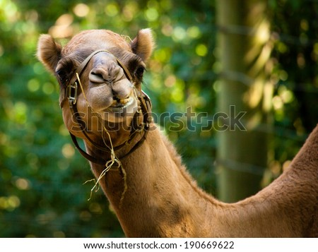 Camel - Camelus dromedarius - stock photo