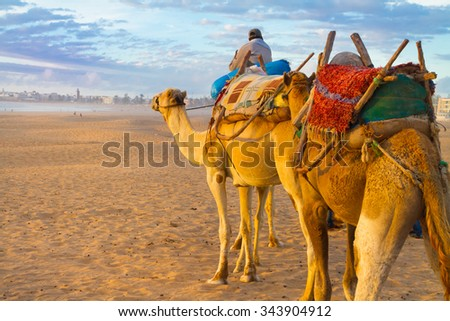 Camel caravan at the beach of Essaouira in the sunset, Morocco, Africa. - stock photo
