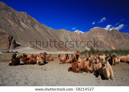 Camel caravan in the sand dunes, Nubra valley, India - stock photo
