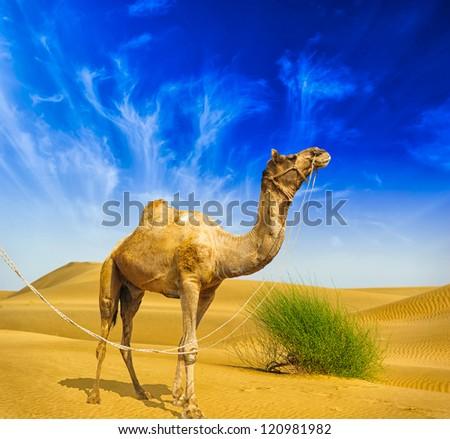 Camel Desert landscape adventure background.  - stock photo