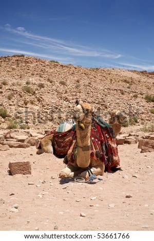 Camel dromedary in Petra, Jordan desert. - stock photo