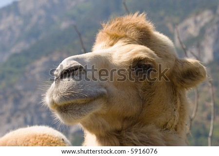 camel head close-up shot on mountains background