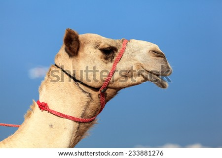 Camel head shot in Dubai Jumeira Beach. Camel riding is very popular in winter and cold weathers in Dubai. - stock photo