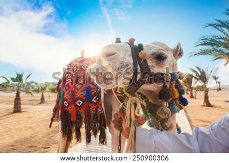 Camel in Egypt - stock photo