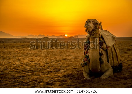 Camel in front of sunset in Hurghada/Makadi Bay, Egypt, focus at the camel - stock photo