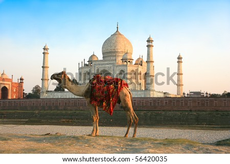 Camel in front of Taj Mahal in sunset , Agra , India - stock photo