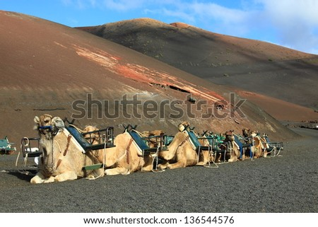 Camel in Lanzarote in timanfaya fire mountains at Canary Islands - stock photo