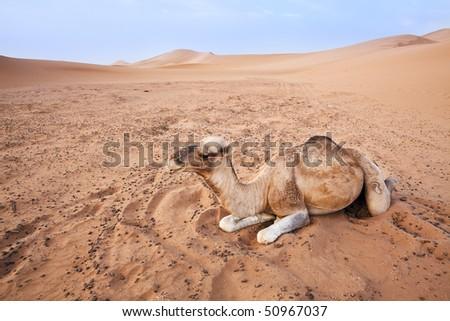 Camel in the Sahara desert in Morocco. Horizontal shot. - stock photo
