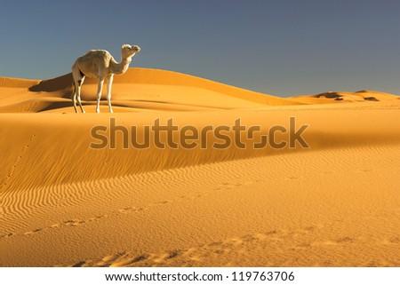Camel in the Sahara desert, Morocco - stock photo