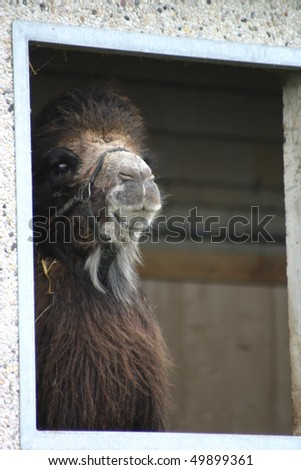 camel in the window - stock photo