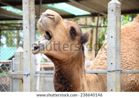 camel in the zoo