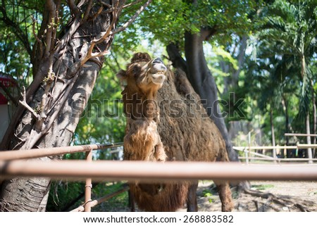 Camel in zoo - stock photo