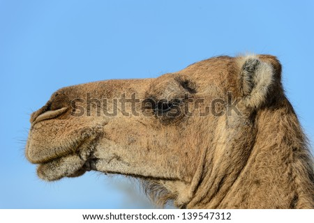 Camel is about to spit - stock photo
