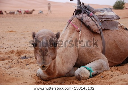 Camel is sitting in the Sahara Desert, Morocco - stock photo