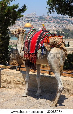 Camel looking at the old city of Jerusalem, Israel