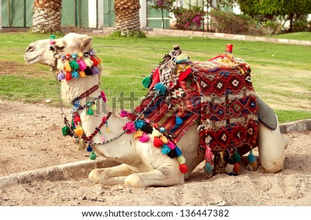 camel lying in the sand - stock photo
