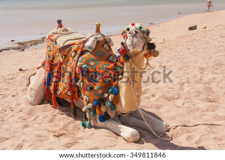Camel on a sand of beach in Egypt