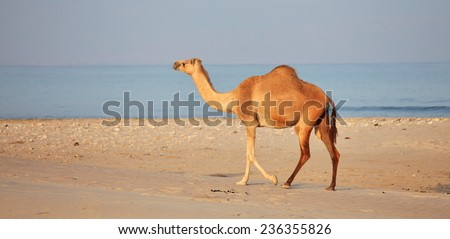 Camel on beach - stock photo