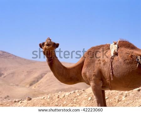 camel portrait in the sahara desert, close-up, light clear blue sunny sky, - stock photo
