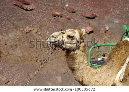 Camel, portrait, Timanfaya National Park, Lanzarote, Canary Islands, Spain . Riding camels are a famous tourist attraction in Lanzarote . - stock photo