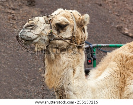 Camel portrait, Timanfaya National Park, Lanzarote, Canary Islands, Spain. Riding camels is a famous tourist attraction in Lanzarote. - stock photo