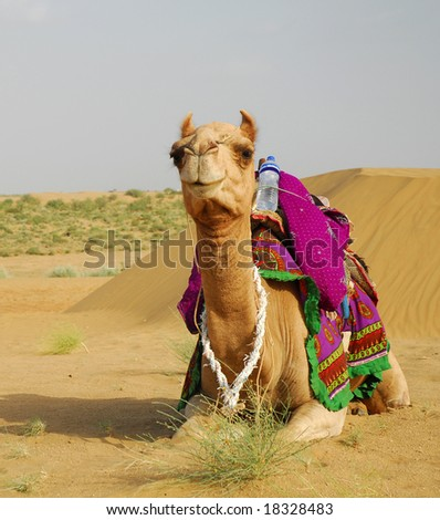 camel resting on a ground in Tar Desert, India
