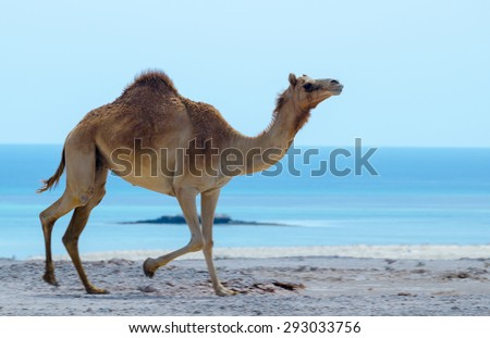 Camel run near one beach of UAE gulf. - stock photo