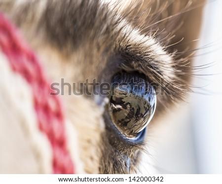 Camel's eye - stock photo