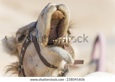 Camel's smile - stock photo