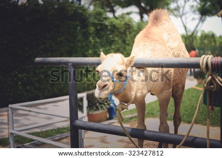 Camel's smiling face closeup at head - stock photo