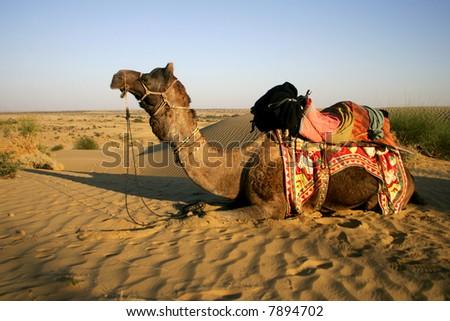 Camel safari in Thar Desert, Rajasthan, India - stock photo