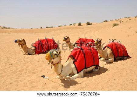Camel safari, sitting camel in Dubai - stock photo