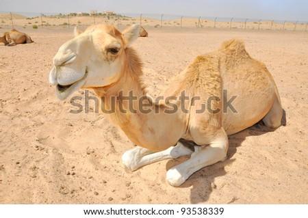 Camel sitting in the desert, Abu Dhabi - stock photo