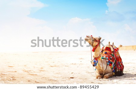 Camel sitting on a desert land with blue sky on the background - stock photo