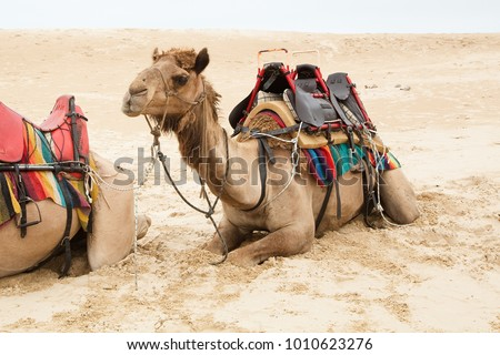 Camel sitting with beach sandy background, resting between giving camel rides