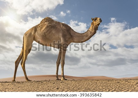 camel standing on a dune in the desert on a cloudy day