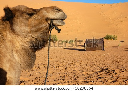 Camel watching the camp - stock photo