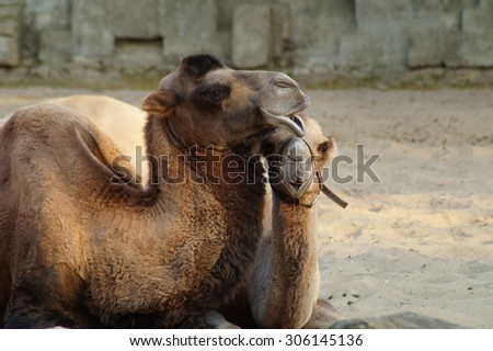 camel with a young camel
